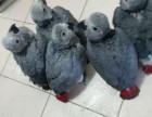 专业繁殖中大型灰鹦鹉 金刚鹦鹉 折衷鹦鹉 亚历山大鹦鹉