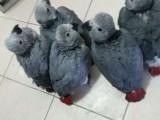 成都鹦鹉幼崽出售