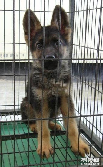 杭州哪里有德牧犬卖 杭州哪里出售纯种德国牧羊犬多少钱