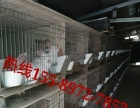 出售杂交野兔种兔野兔养殖场