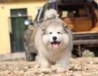 唐山阿拉斯加怎么卖的 灰色阿拉斯加多少钱 红色熊版阿拉斯加