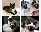 纯种暹罗猫出售 疫苗做齐 质保签协议