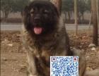 出售纯种高加索幼犬,身体健康,砰活健壮