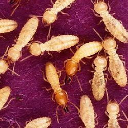 成都灭白蚁公司+成都白蚁防治公司+成都白蚁防治中心