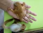 出售各种松鼠红腹黄山金花睡鼠