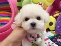 比熊犬精品出售 性格温顺 加微信看狗狗视频