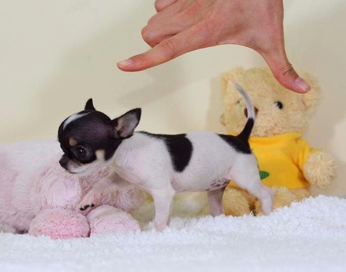 上海纯种吉娃娃犬舍 首先西贝犬舍 20年的保证 带证书协议