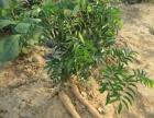 广西草本植物中草药种植,企业扶持,农民致富首选!