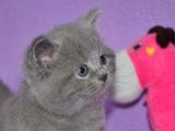 本周特价 精品幼猫 短毛猫 可上门自选 签协议