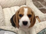 长期繁殖活泼听话比格犬 各类纯种名犬