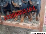 3-4个月的莱州红犬幼犬好不好喂养 哪里有卖纯种莱州红犬的
