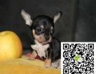 世界商最小的狗就是吉娃娃 吉娃娃好养么哪里能买到健康的吉娃娃