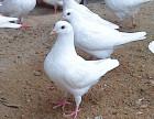 厂家销售一批肉鸽物美价廉 春节期间价格优惠