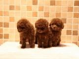 南宁出售 纯种泰迪幼犬 疫苗齐全出售中 可签协议健康保障