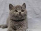 可上门挑选、蓝猫幼猫、英国短毛猫、折耳立耳蓝猫小猫