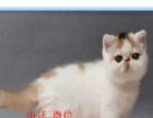 专业繁育精品加菲猫保健康 可送上门挑选另有种公借配