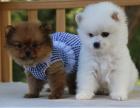 出售纯种健康活泼博美犬多种颜色签订终身质保协议