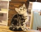 深圳哪里有卖宠物猫的深圳哪里有猫舍卖美短深圳出售美短