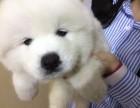 萨摩耶幼犬低价出售 身体健康纯种 同城支持上门看狗