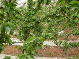 想要品质好的樱桃苗就来一边倒果树研究所,美早樱桃
