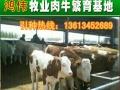 山西太原大型肉牛场