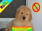 实物拍摄——三证齐全——疫苗做齐保健康—金毛幼犬