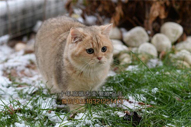宠物小猫咪纯种英国短毛猫英短蓝猫立耳折耳活体幼猫幼