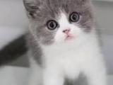 上海出售英短蓝白,CFA注册猫舍,可预订保健康
