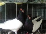 点子鸽多少钱一对哪里卖的点子鸽便宜