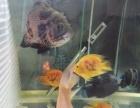 儋州那大地区出售几条地图梅花鹦鹉鱼