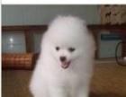 小小的银狐犬雪白的,小狗是很小型 也很乖巧
