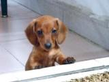 南京哪有腊肠犬卖 南京腊肠犬价格 南京腊肠犬多少钱