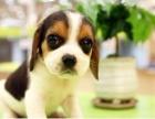 北京出售纯种比格幼犬大长耳朵比格幼犬纯种活体猎