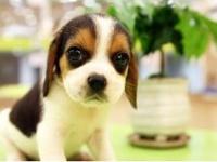 北京出售純種比格幼犬大長耳朵比格幼犬純種活體獵