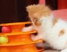 纯家养红色高白正八字加菲猫异国长毛猫MM五短身材