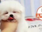 高端贵族萌宠超小体马尔济斯犬出售 可签协议质保终身