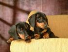 中国较大双血统腊肠犬繁殖基地 可实地考察