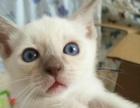 猫舍直销-品种齐全-批发零售世界高品质名猫保健康