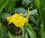 东骏花卉供应价位合理的美人蕉|美人蕉哪家好