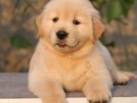 犬舍繁殖金毛价格 金毛多少钱一只 哪里有卖金毛