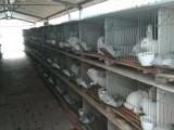 四川肉兔养殖场 肉兔种兔价格 肉兔回收价格