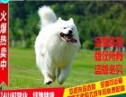 正规犬舍直销 萨摩耶犬 包纯种 包健康 签协议