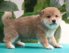 本地正规犬场一出售纯种优品日系柴犬