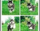 本地哪里有狗场 阿拉斯加价格 巨型阿拉斯加雪橇犬