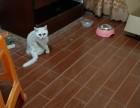 浅层猫长毛柔滑快五个月大