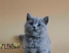 家庭猫舍出售蓝猫包子脸包纯种包健康