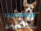 上海的柯基犬多少钱一只,纯种威尔士柯基犬出售,柯基犬价格