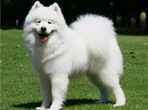 出售纯种萨摩耶.品相好血统正纯 价格优惠 送狗狗用品