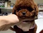 出售高品质泰迪犬 星脉专注高端宠物 签协议