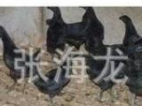 *供应销售 山鸡苗 野山鸡苗 七彩山鸡